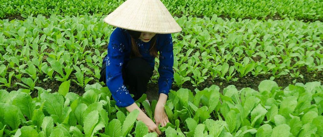 le maraicher au Vietnam